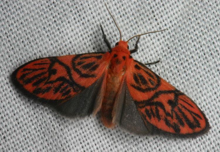 Arctiidae Barsine sp.