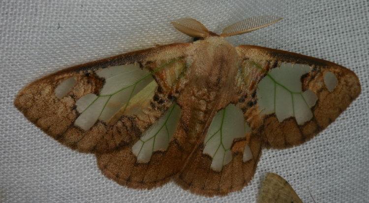 Lymantirdae Carriola ecnomoda