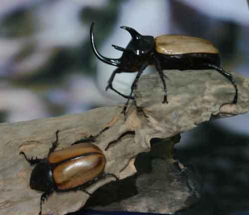 Eupatorus gracilicornis