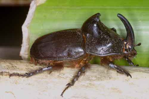 Trichogomphus martabani m