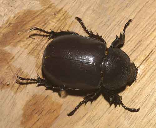 Xylotrupes gideon f- if you were a Rhinoceros beetle you would fight over this