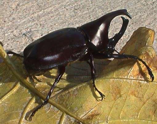 Xylotrupes gideon m (Rhinoceros beetle- the fighting beetle)