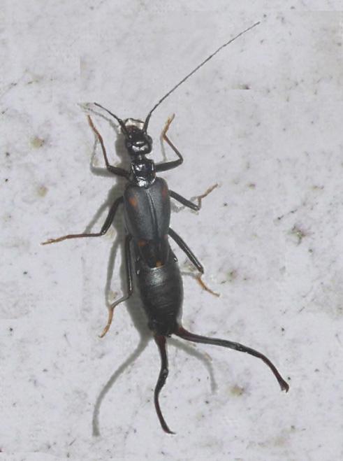 Dermaptera Forficulidae earwig