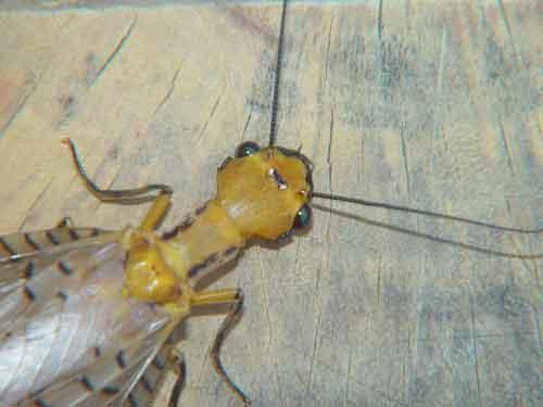 Megaloptera alderfly Corydalidae