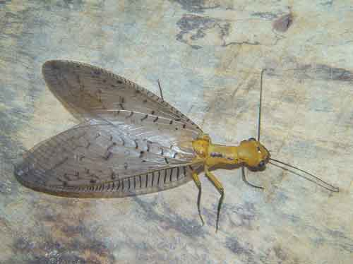 Megaloptera alderfly 1 Corydalidae