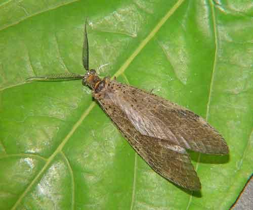 Megaloptera alderfly or something else