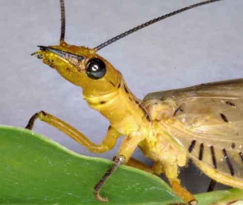 Megaloptera alderfly 6 Corydalidae
