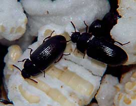 tiny beetles- kept in jars with rice and honey