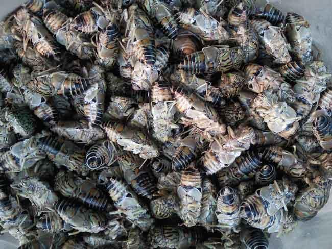 cicadas ready for frying