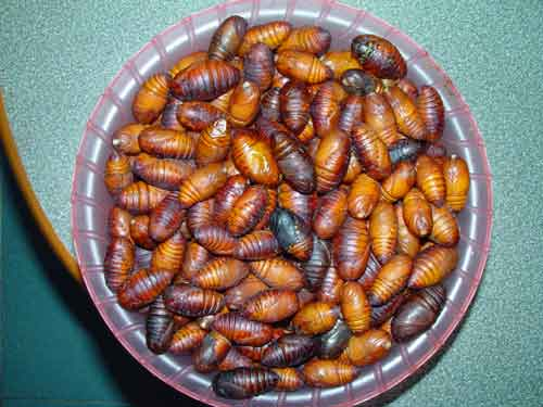 silk moth pupae- also those of other moths and butterflies, wasps\' and bees\' larvae
