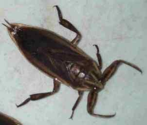 water beetle boiled an pounded to a sour paste