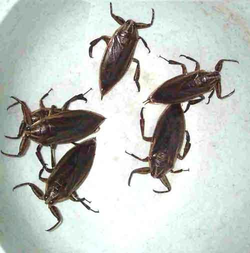 water beetles 1