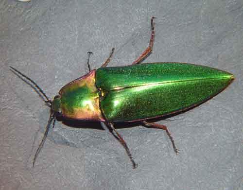 Campsosternus sp.1
