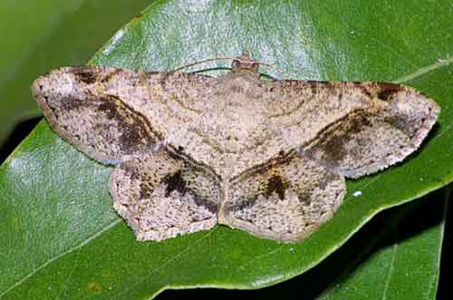 Chiasmia species triangulata  or diplotata