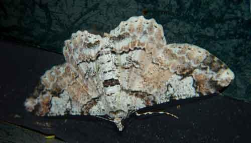 Cleora alienaria Walker f