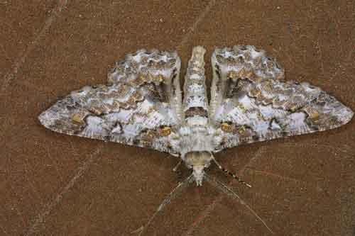 Cleora alienaria Walker m