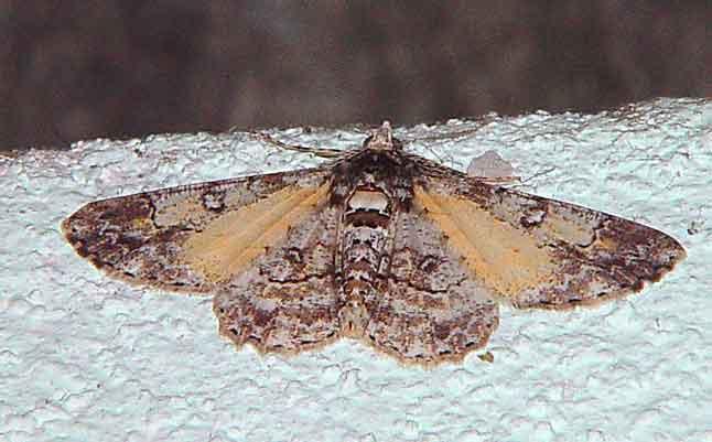 Cleora alienaria