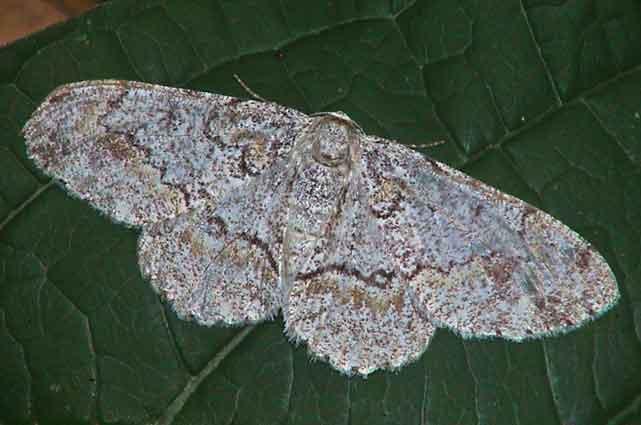 Cusiala boarmoides Moore f