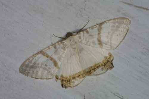 Dalima metachromata Walker m