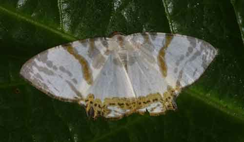 Dalima metachromata