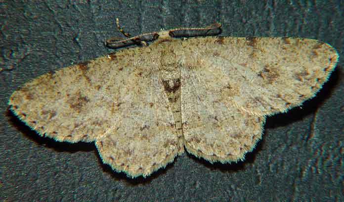 Ectropis sp