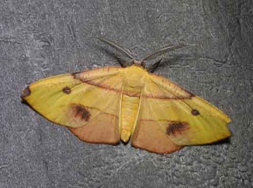 Hypochrosis (Marcala) flavifusata