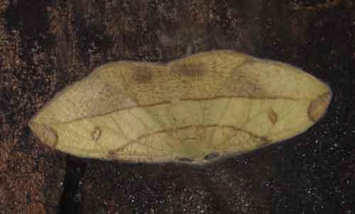 Hypochrosis (Marcala) hyadaria