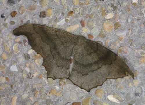 Hyposidra talaca f
