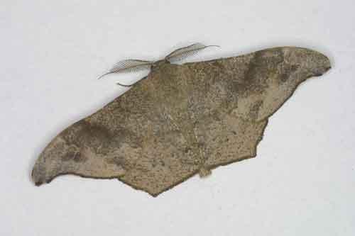 Hyposidra talaca m