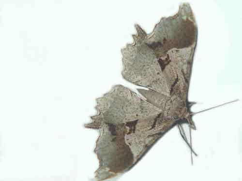Krananda nepalensis Yazaki f