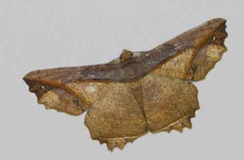 Menophra (Ephemerophila) torridaria