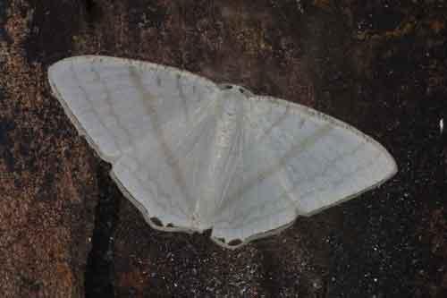 Micronidia simpliciata