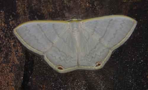 Micronissa delphinaria