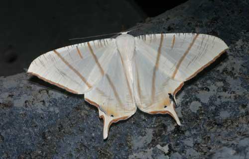Ourapteryx clara