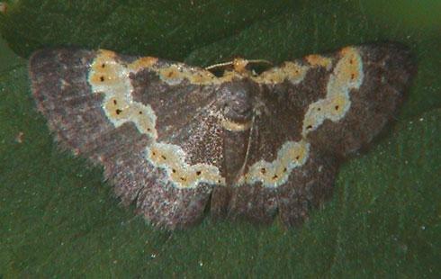 Peratophyga flavomaculata