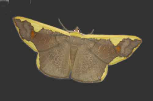 Plutodes costatus