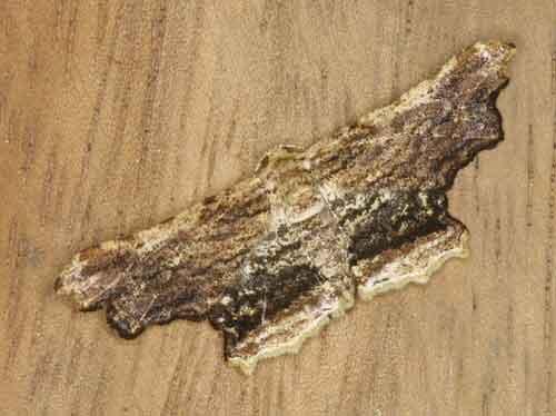 Zanclomenophra subusta