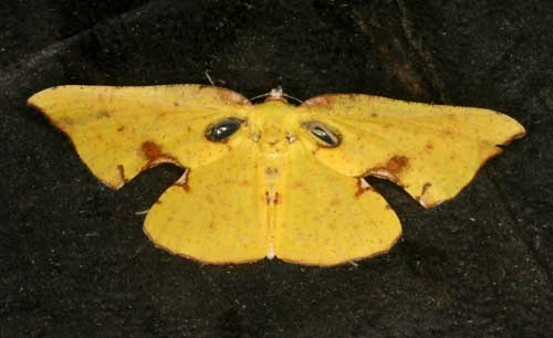 Corymica spatiosa male
