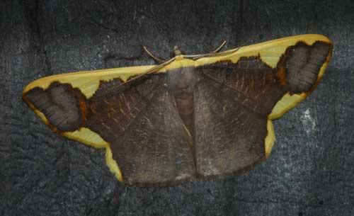 plutodes-costatus-ennominae
