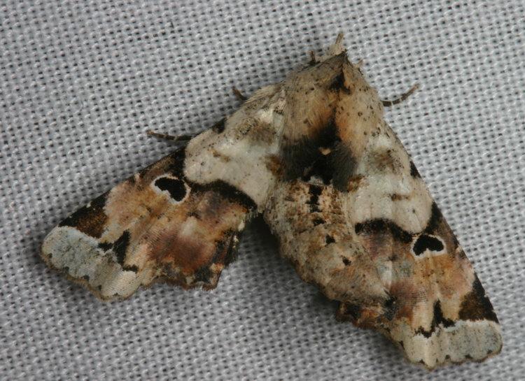 Noctuidae  Euteliinae  Atacira caesia