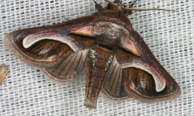 Paectes cristatrix
