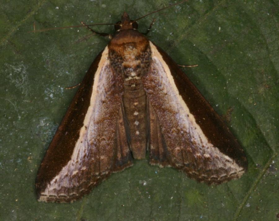 Lophoptera squammilinea