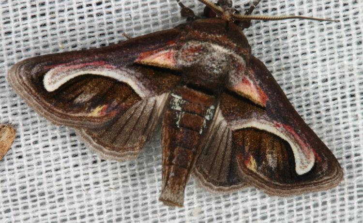 Noctuidae Euteliinae Paectes cristatrix