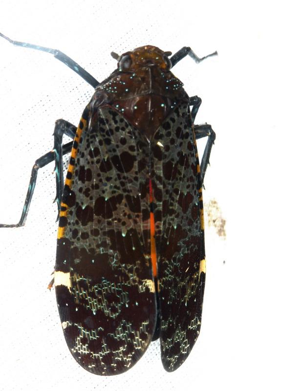 Cicadellidae