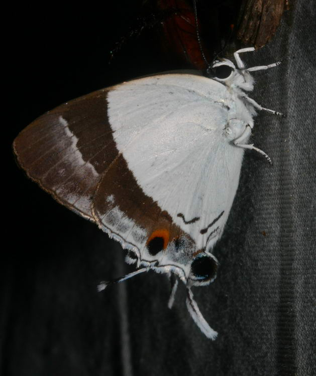 Lycaenid Eliotia jalindra
