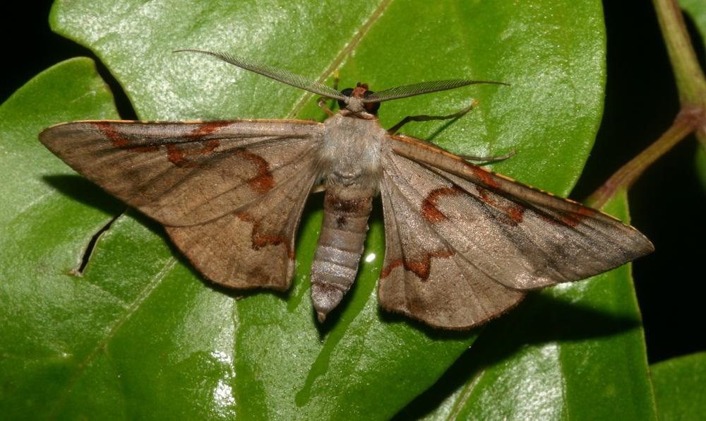 Geometridae Ennominae Hypochrosis sp IMG_1758