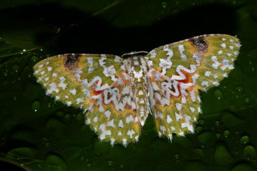 Geometridae Geometrinae Eucyclodes gavissima