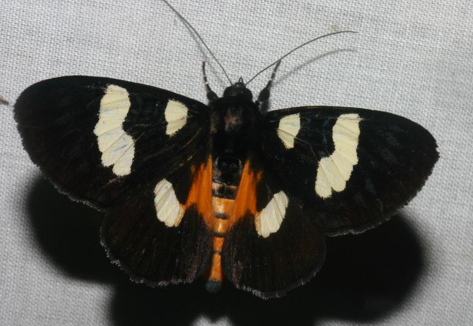 Noctuidae Agaristinae Mimeusemia basalis