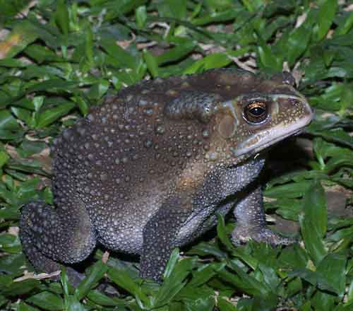 Giant Asiatic toad 1