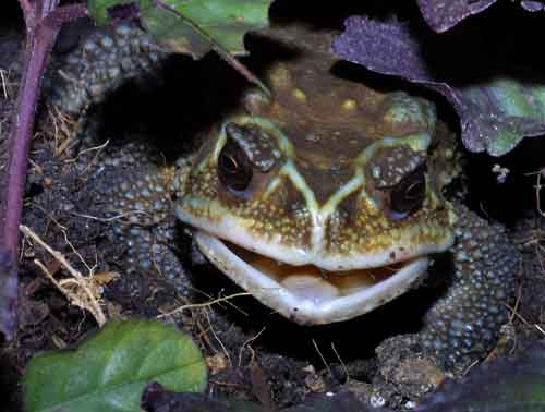 Giant Asiatic toad